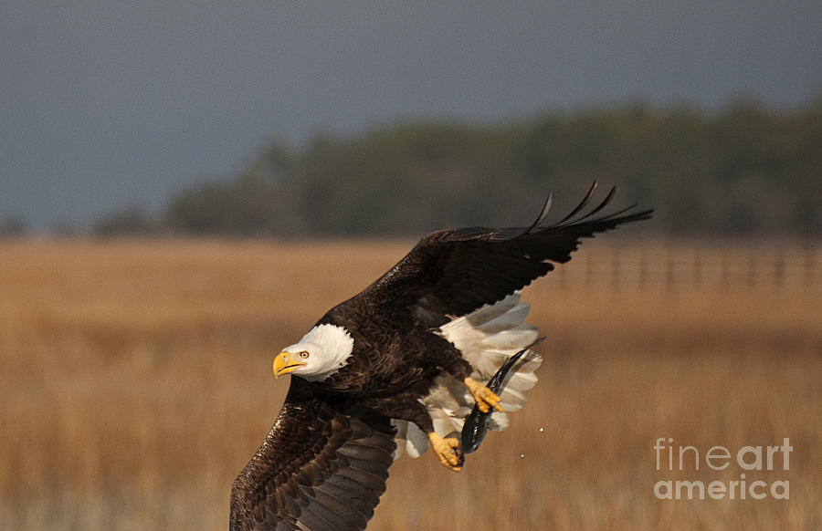 Bald Eagle Catches Fish Photograph By Tj Baccari