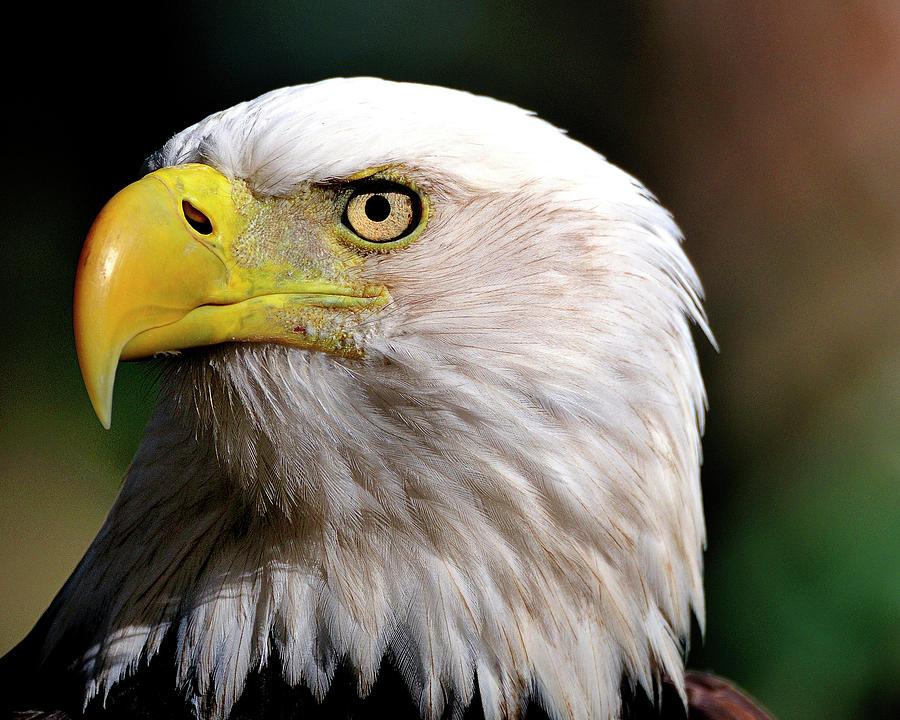 Bald Photograph - Bald Eagle Close Up by Bill Dodsworth