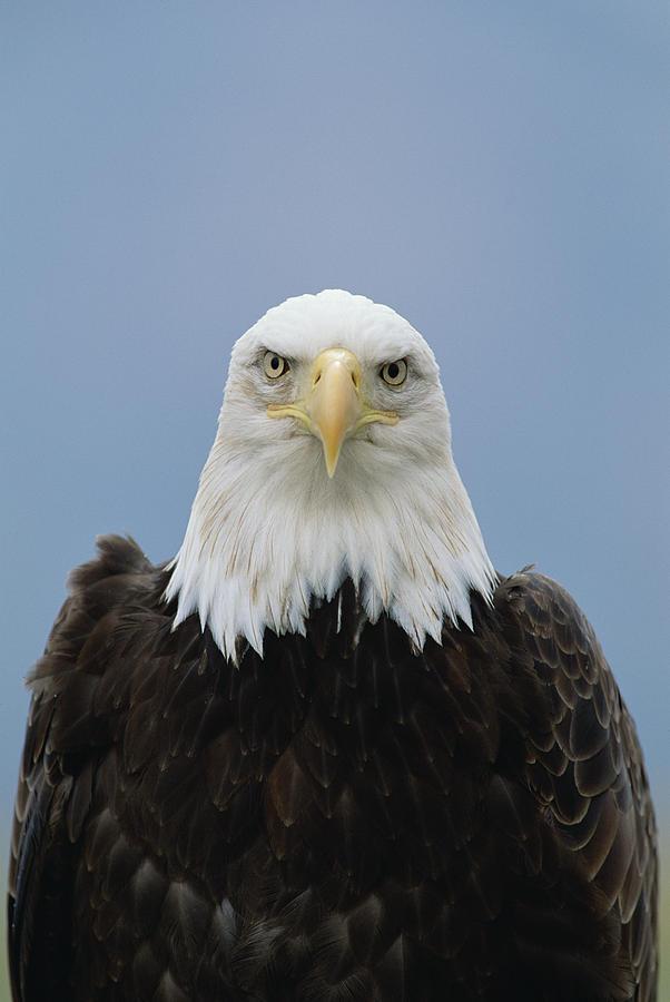 Mp Photograph - Bald Eagle Haliaeetus Leucocephalus by Konrad Wothe