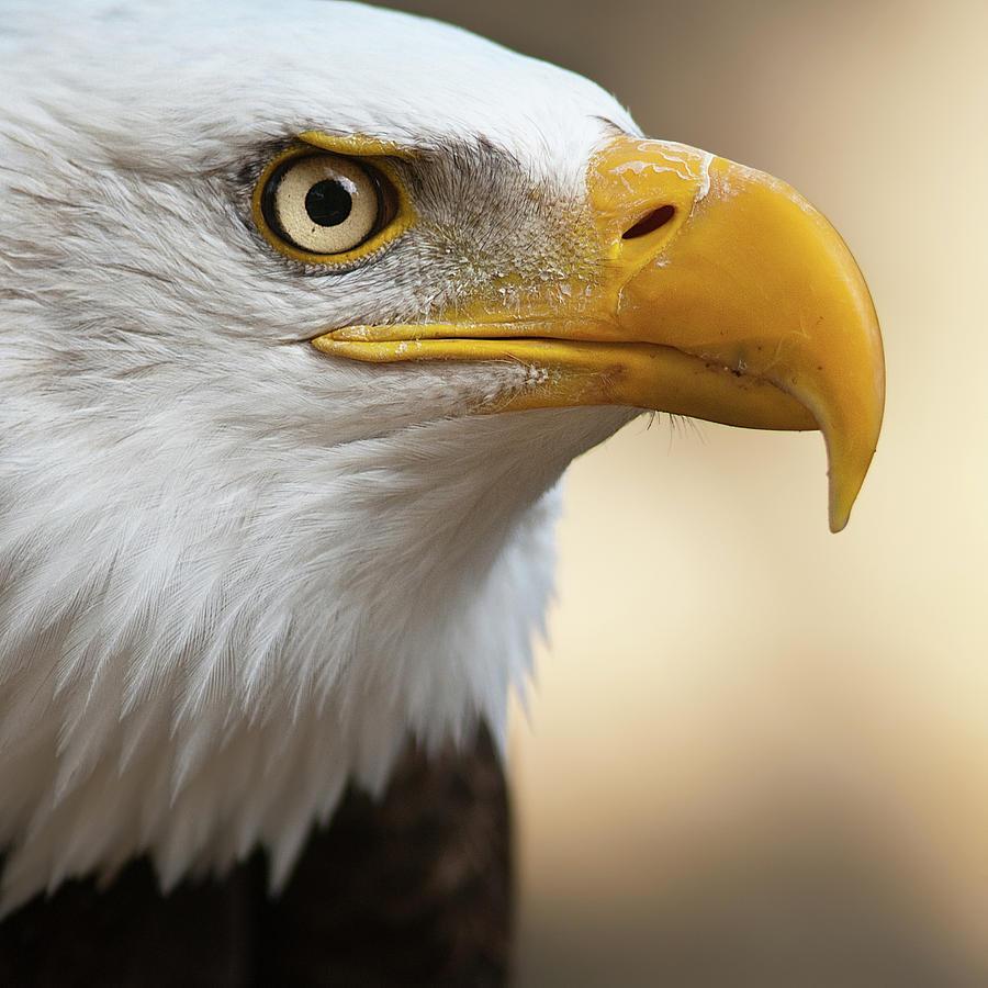 Square Photograph - Bald Eagle by Jonatan Hernandez Photography