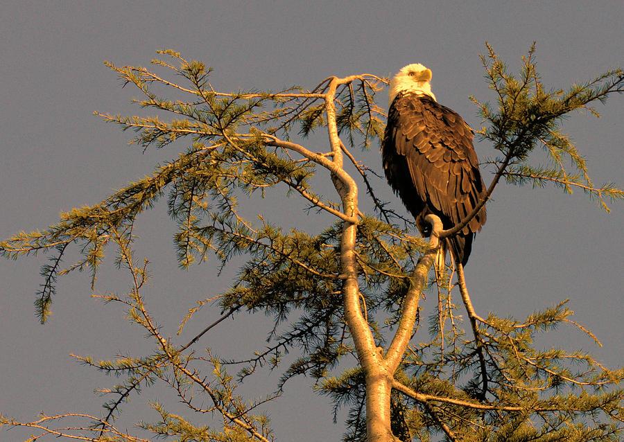 Bald Eagle Photograph - Bald Eagle by Lawrence Christopher