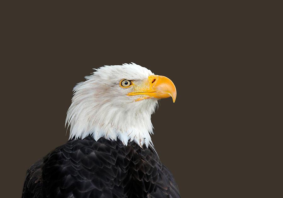Alaska Photograph - Bald Eagle by Paul Fell