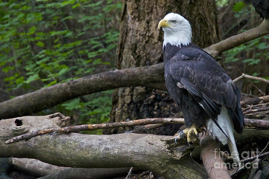 Sean Photograph - Bald Eagle by Sean Griffin