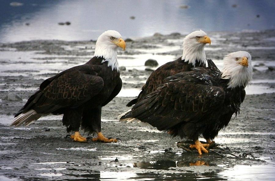 Bald Eagle Digital Art - Bald Eagle Trio by Carrie OBrien Sibley