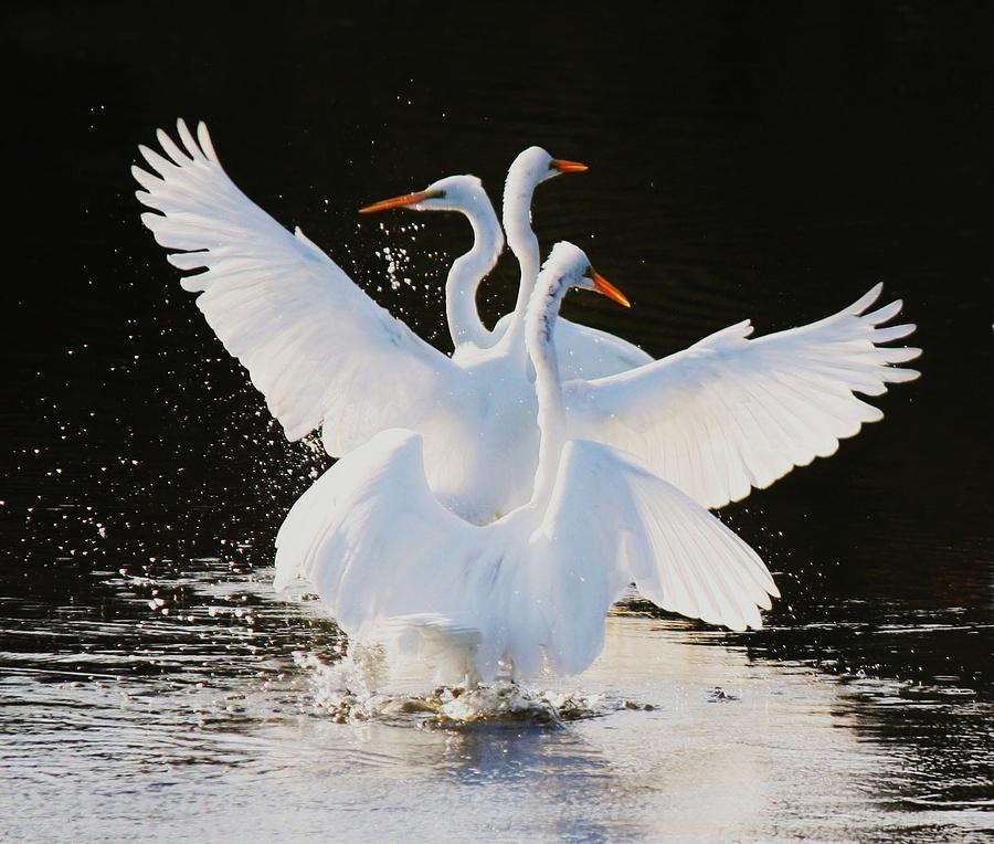 Great White Egret Photograph - Ballet by Paulette Thomas