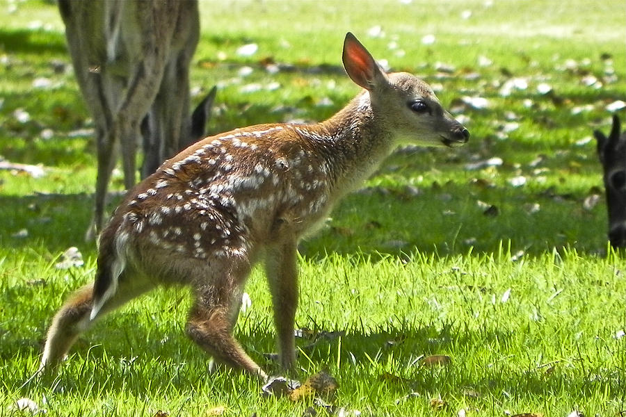 Venison Photograph - Bambi first steps by Jesus Nicolas Castanon