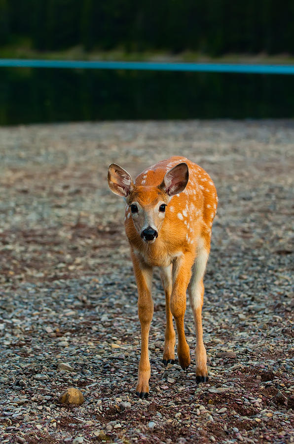 Animal Photograph - Bambi by Sebastian Musial