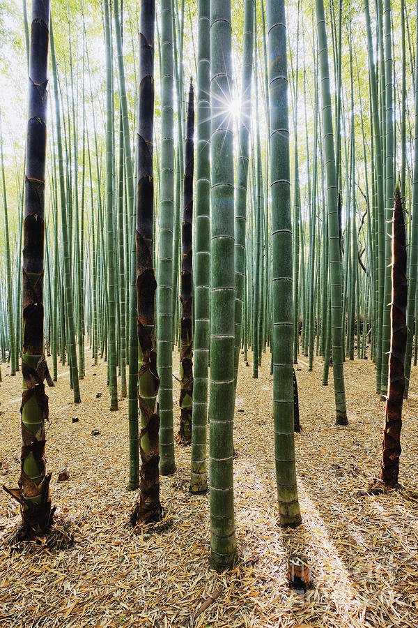 Bamboo Photograph - Bamboo Forest by Jeremy Woodhouse
