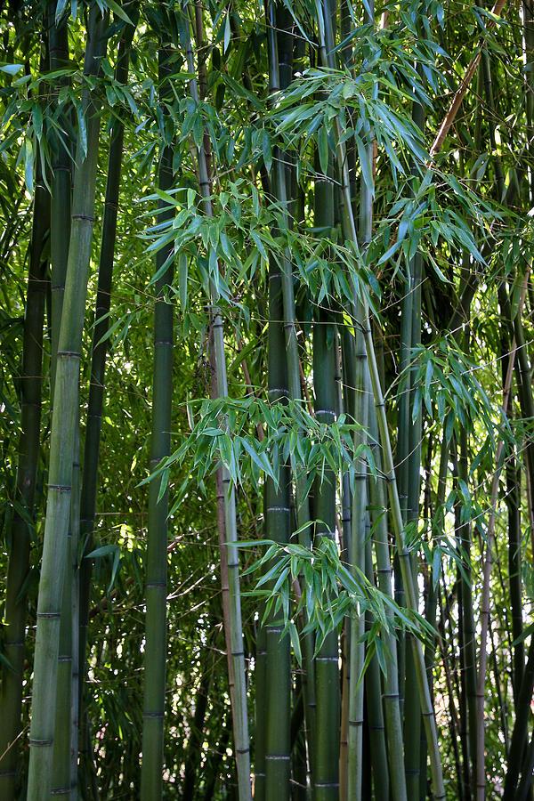 Bamboo Photograph - Bamboo Tree by Athena Mckinzie