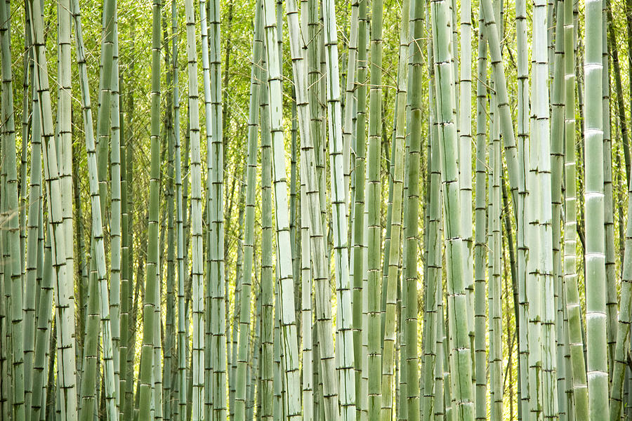 Abstract Photograph - Bamboo Trees Background by Vaidas Bucys