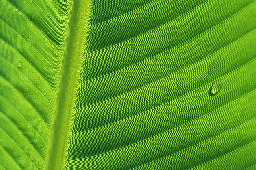 Mp Photograph - Banana Musa Sp Close Up Of Leaf by Cyril Ruoso