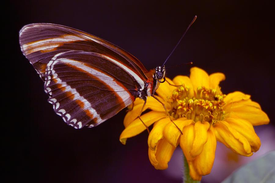 Butterfly Photograph - Banded Orange Heliconian Dryadula Phaetusa by Edward Kreis