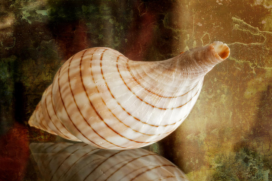 Seashell Photograph - Banded Tulip Seashell by Bonnie Barry