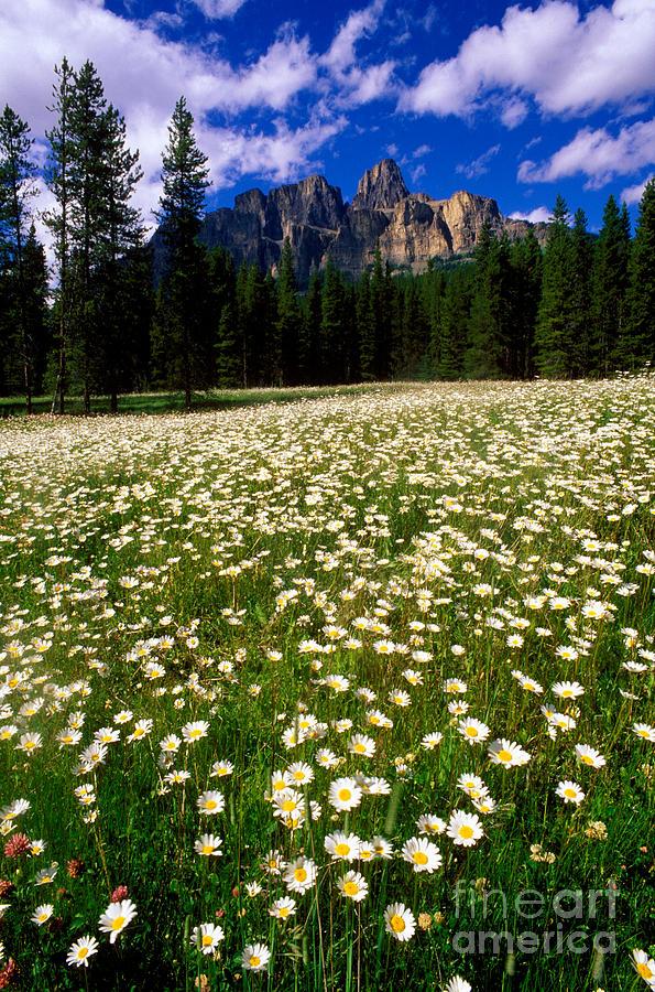 Castle Mountain Photograph - Banff - Castle Mountain Daisies by Terry Elniski