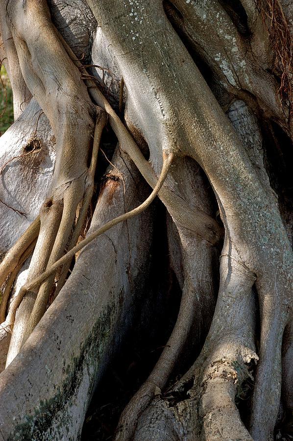 Banyan Tree Photograph - Banyan by Joseph Yarbrough