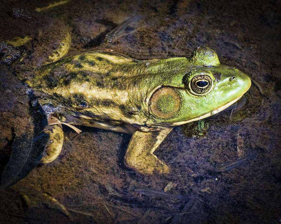Bright Pyrography - Barataria Swamp Frog by Ray Devlin
