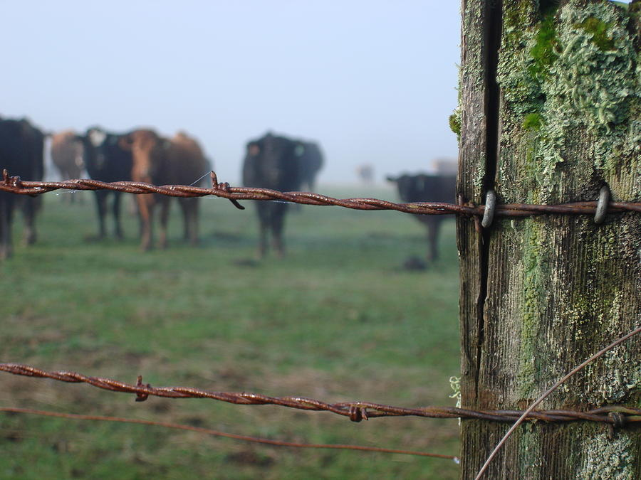 Barbed wire fence cattle Bockman Group Barb Wire And Cattle Fine Art America Barb Wire And Cattle Photograph By Alyssa St Clair