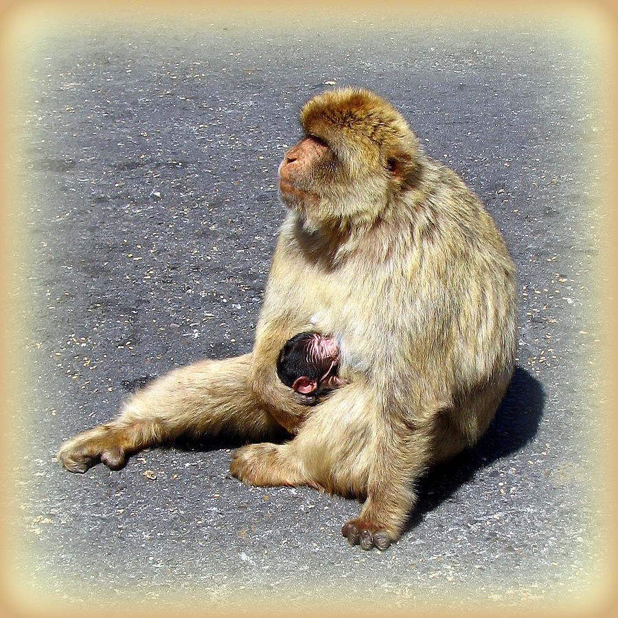 Barbary Photograph - Barbary Ape Mother And Baby by Carla Parris