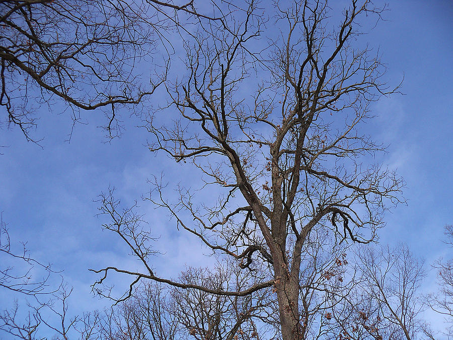 Trees Photograph - Bare Trees With Blue Sky by Corinne Elizabeth Cowherd