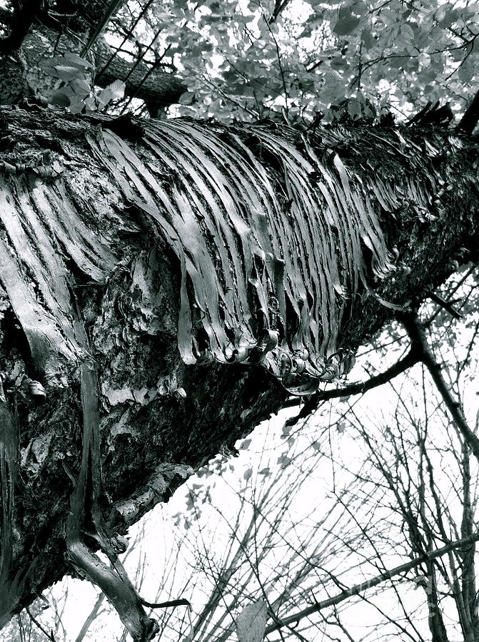 Bark Photograph - Barking Up At The Sky by Trish Hale