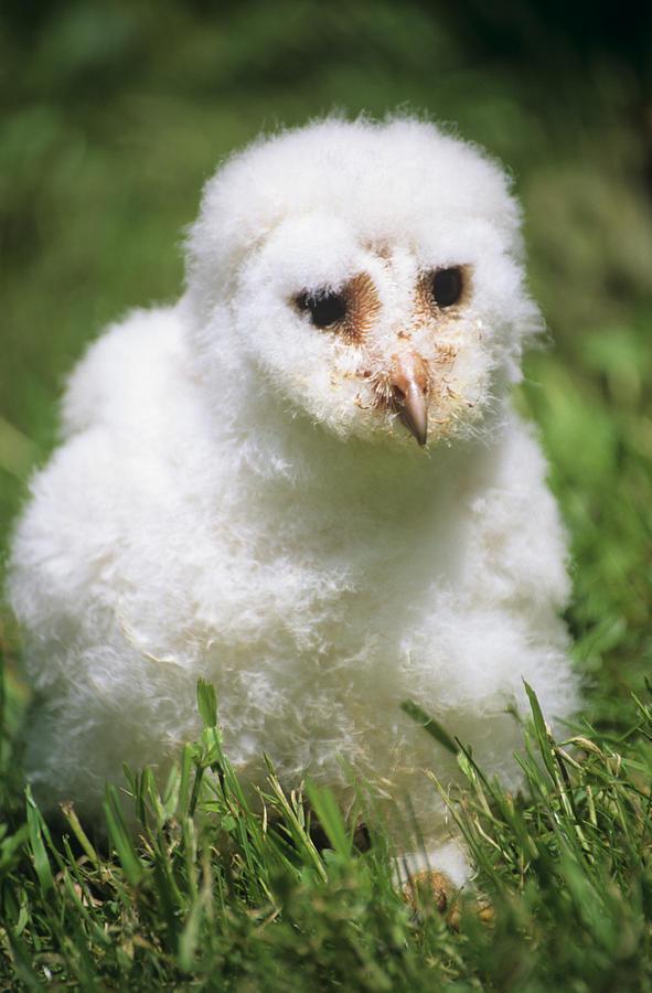 Tyto Alba Photograph - Barn Owl Chick by David Aubrey