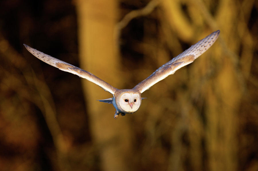 Horizontal Photograph - Barn Owl In Flight by MarkBridger