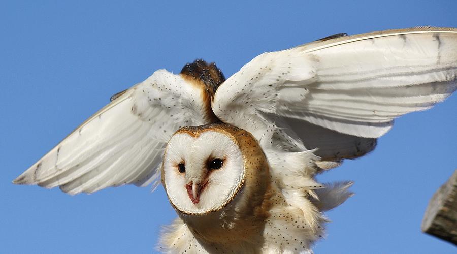 Owl Photograph - Barn Owl In Flight by Paulette Thomas