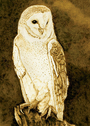 Barn Owl Portrait No 2 Drawing By Cate Mccauley