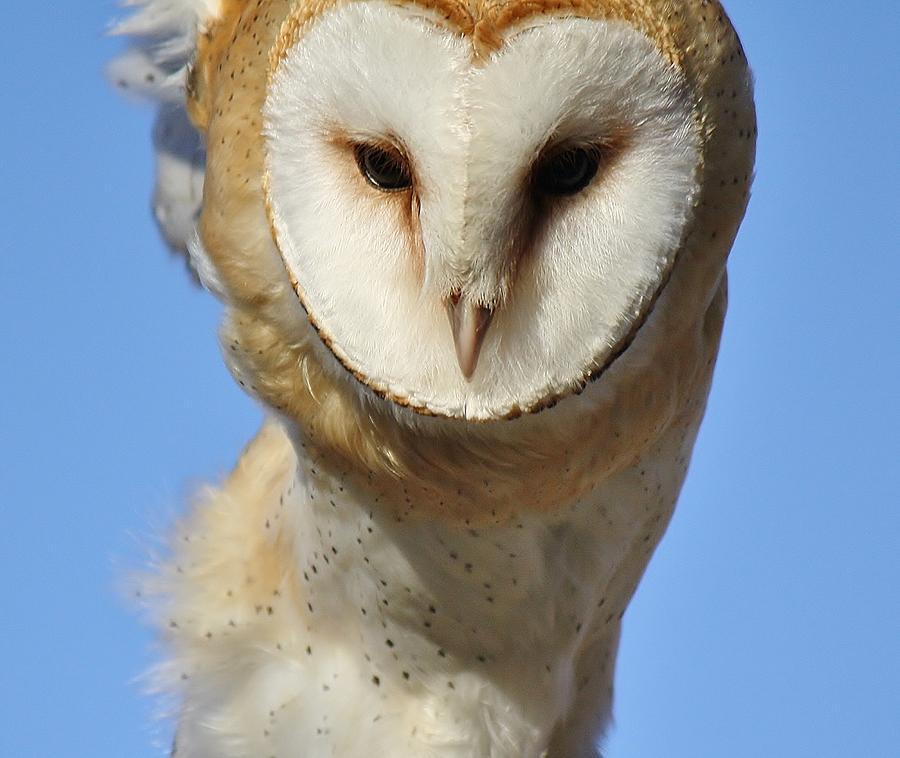 Barn Owl Photograph - Barn Owl Up Close by Paulette Thomas