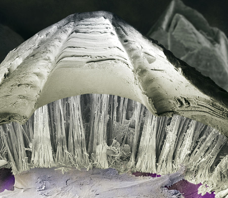 Acorn Barnacle Photograph - Barnacle Glue, Sem by Power And Syred