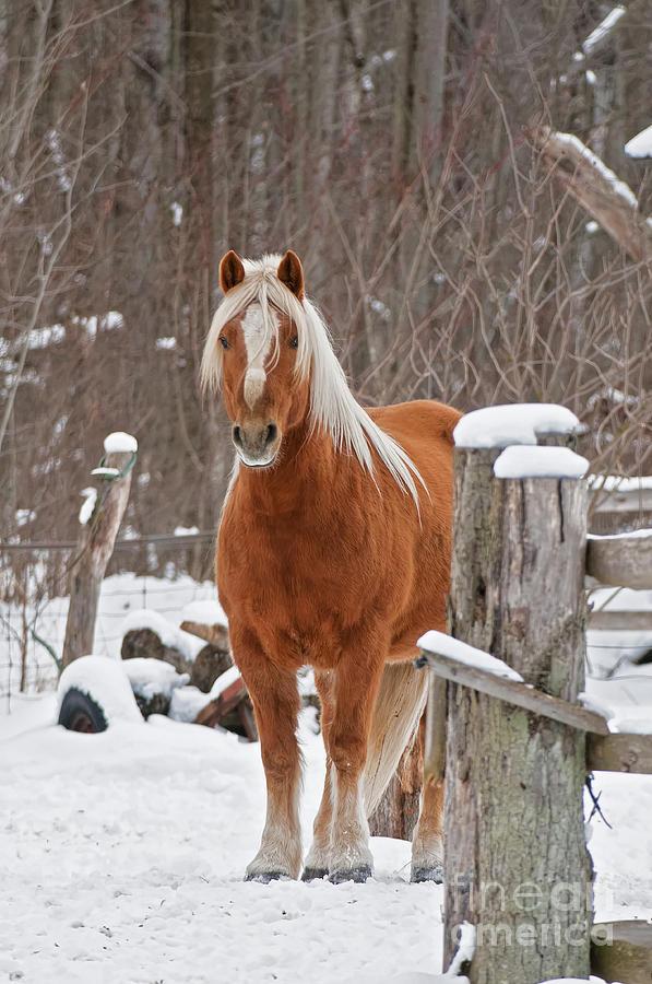 Horse Photograph - Barnyard Majesty by Michael Cummings