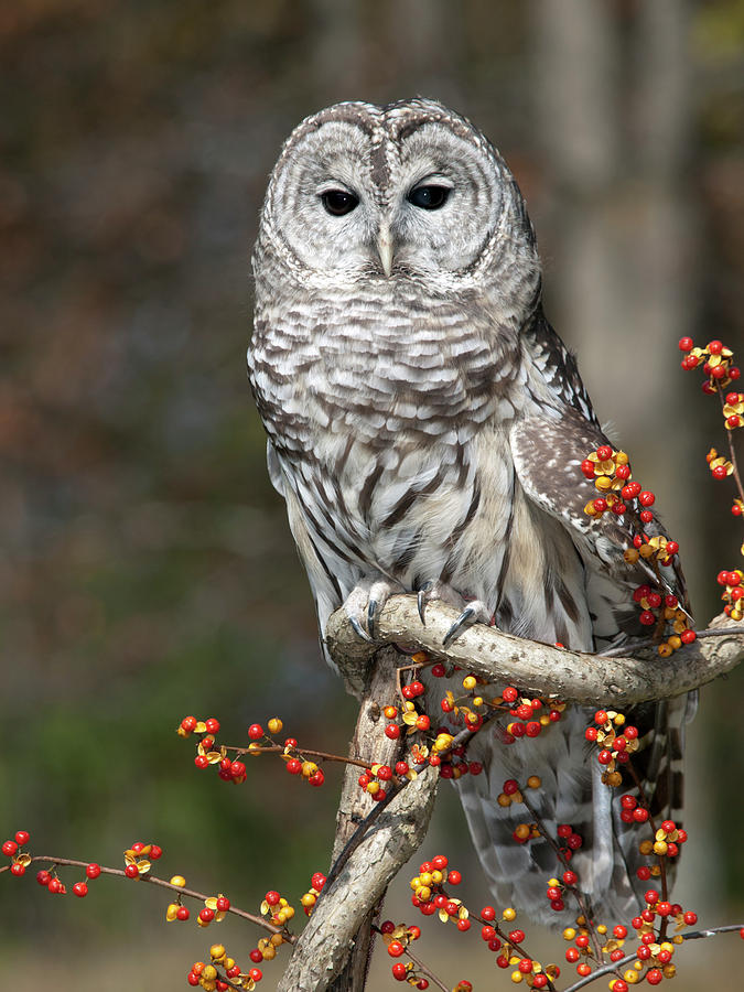 Barred Owl Photograph - Barred Owl And Bittersweet by Cindy Lindow