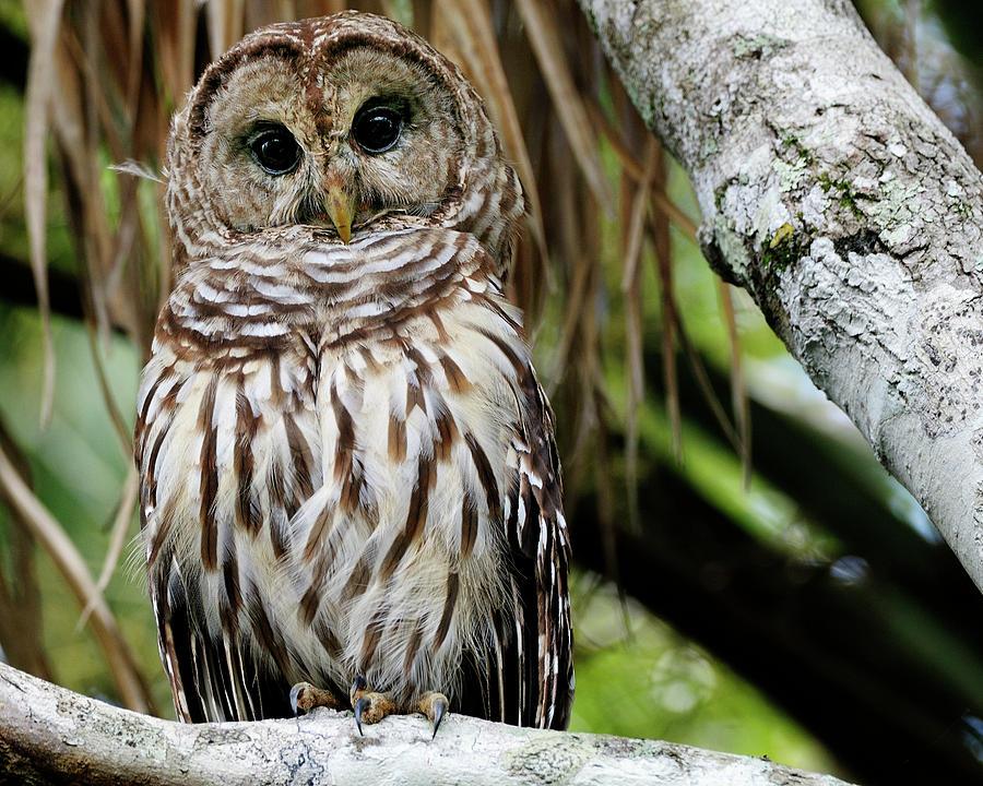 Florida Photograph - Barred Owl by Bill Dodsworth