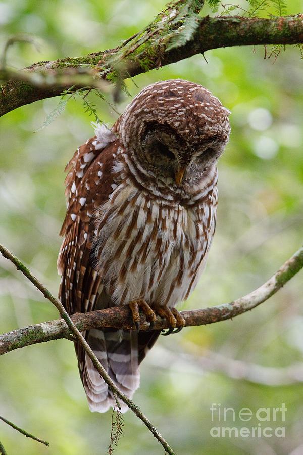 Barred Owl Photograph - Barred Owl by Joe Elliott