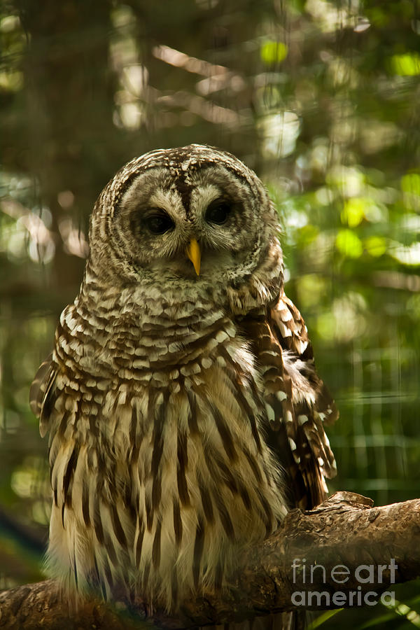 Owl Photograph - Barred Owl by Rachel Duchesne