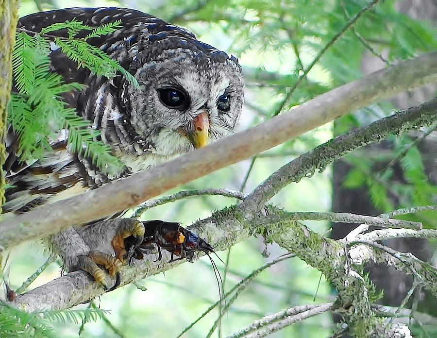 Barred Owl With Crawfish Photograph by Betty Berard
