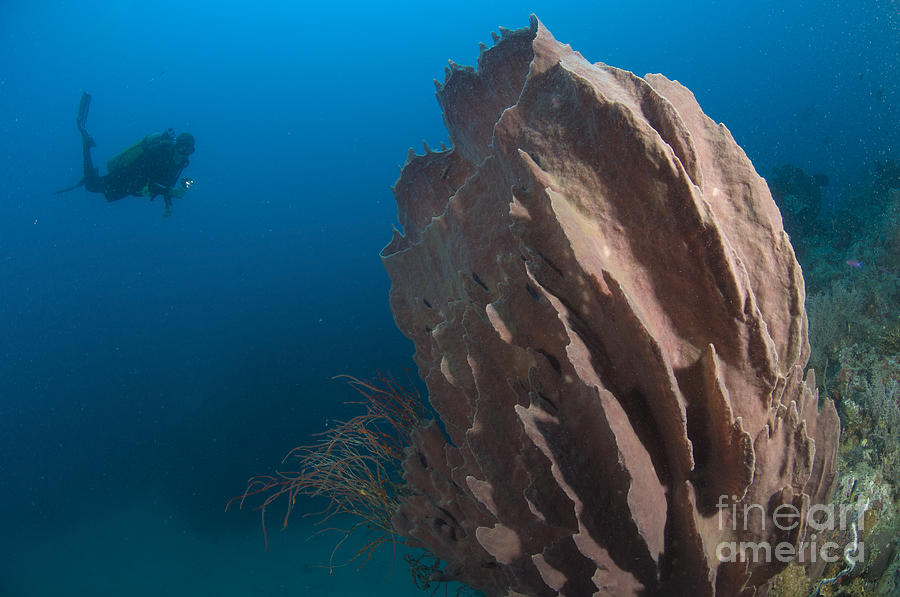 Invertebrate Photograph - Barrel Sponge And Diver, Papua New by Steve Jones