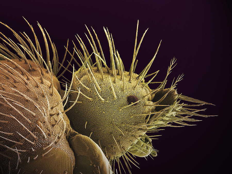 Bat Fly Photograph - Bat Fly Head, Sem by Steve Gschmeissner