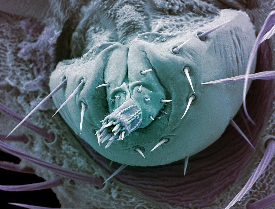 Bat Tick Photograph - Bat Tick Mouthparts, Sem by Steve Gschmeissner