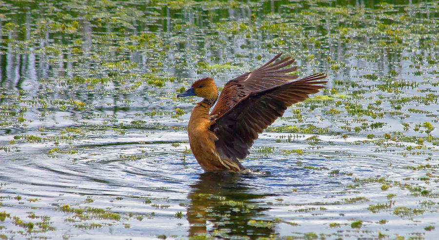 Fulvous Whistling Duck Photograph - Bath Time by Wild Expressions Photography