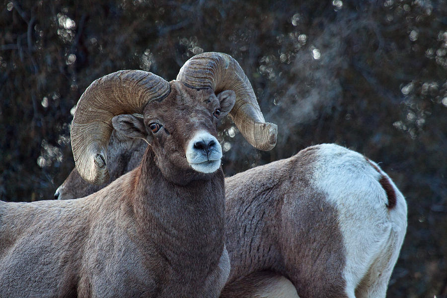 Bighorn Sheep Photograph - Battle Weary by Jim Garrison