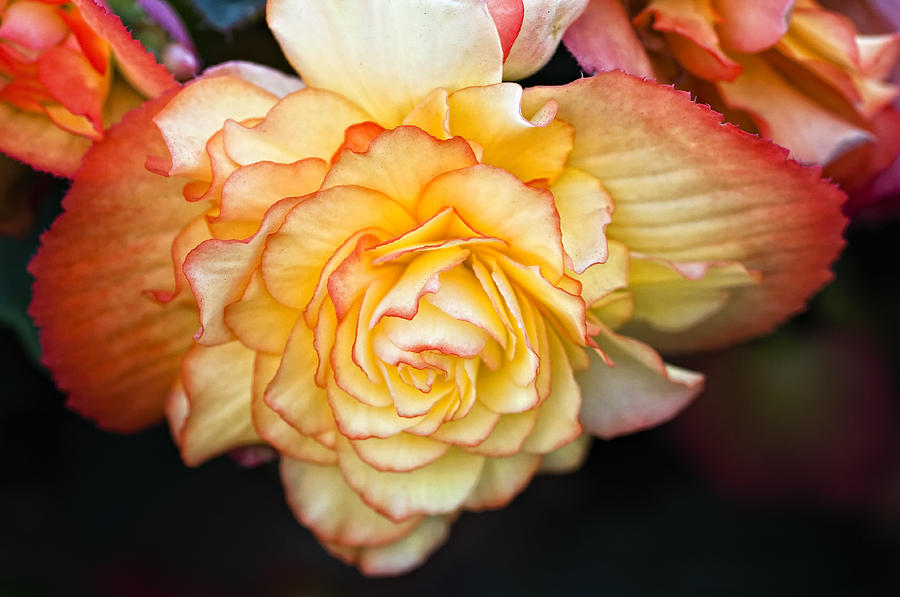 Begonia Photograph - Be Gentle by Steve Harrington