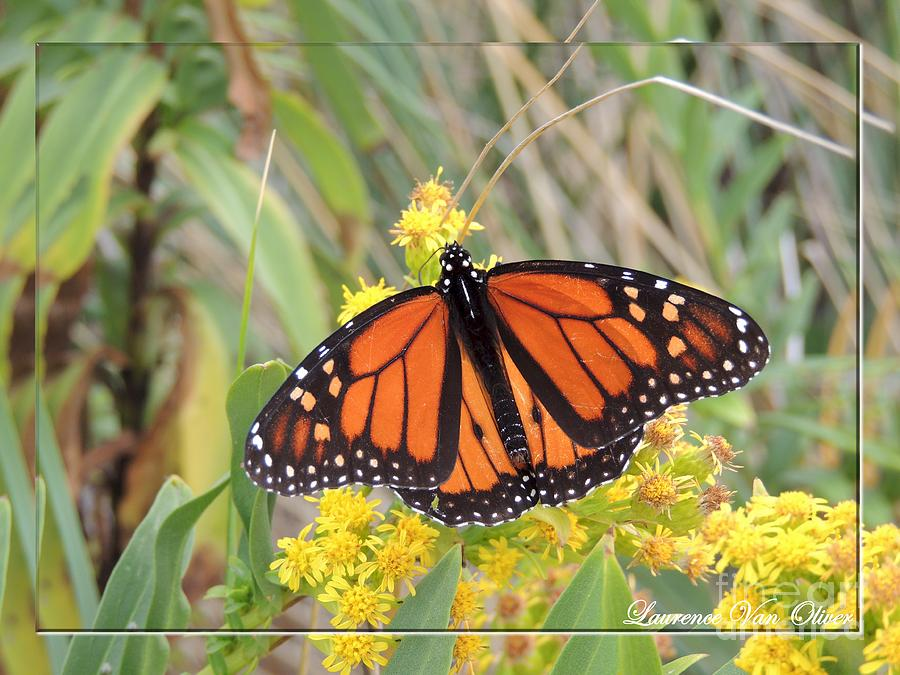 Monarch Photograph - Beach Beauty by Laurence Oliver