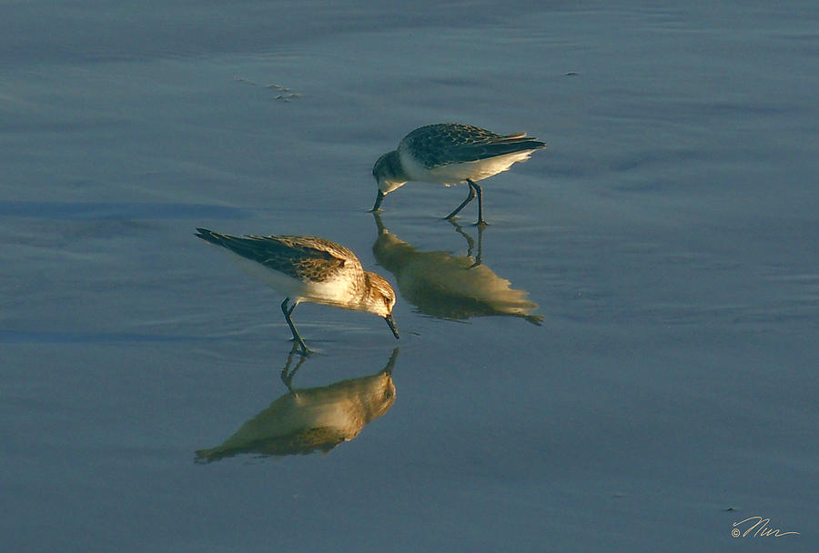 Beach Birds Along Maine Coast Photograph By Nancy Griswold