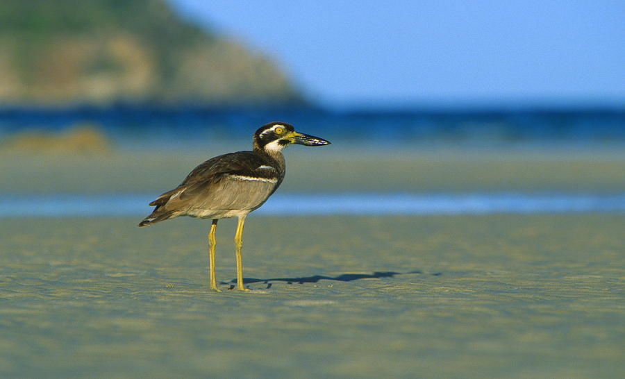 Birds Photograph - Beach Stone-curlew by Bruce J Robinson