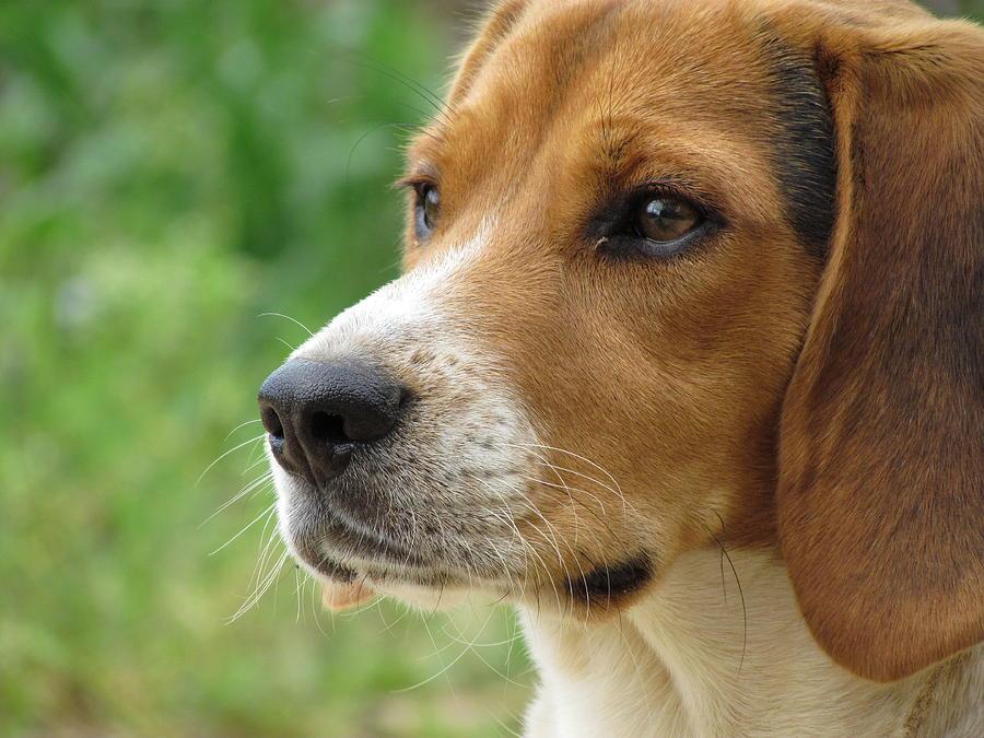 Beagle Photograph - Beagle Gaze by Ginger Adams