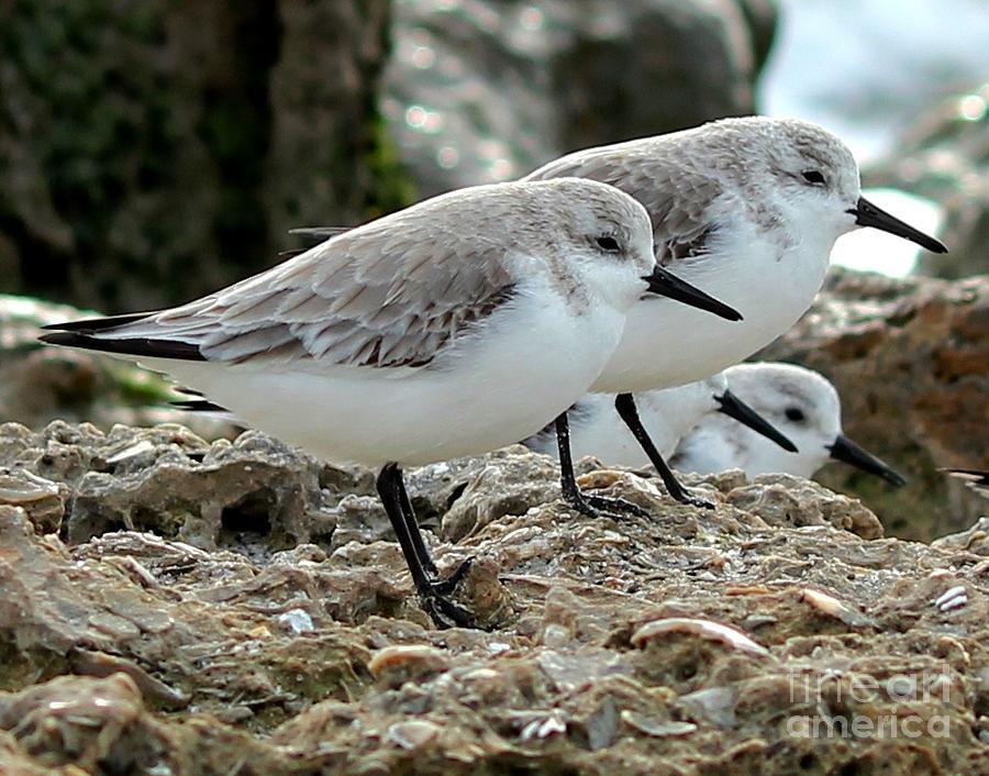 Sanderlings Photograph - Beaks And Legs by Theresa Willingham