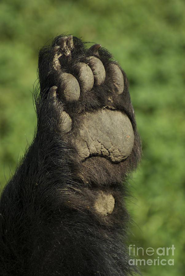 Bear Photograph - Bear Paw by Jenny May