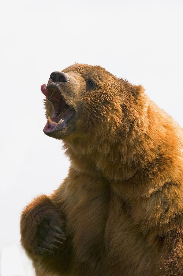 Anger Photograph - Bear With Tongue Out Of Mouth by Carson Ganci