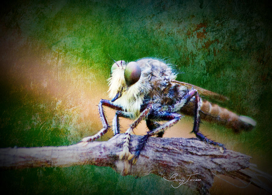 Robber Fly Photograph - Bearded Robber Fly by Barry Jones